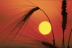 Wheat Silhouette Royalty Free Stock Photos