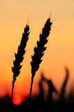 Wheat  silhouette Royalty Free Stock Photo