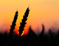 Wheat  silhouette Royalty Free Stock Image