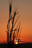 Wheat silhouette 3. Silhouette of wheat stalks against a beautiful sky with the sun low on the horizon Stock Photography