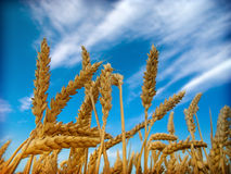 Wheat and sky. In Vojvodina Stock Photo