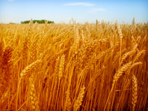 Wheat and sky royalty free stock photography