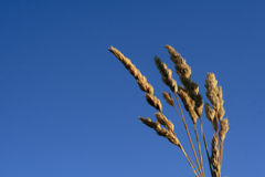 Wheat with the sky Stock Photos