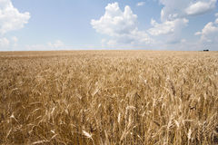 Wheat and sky. View of a wheat with cloudy sky in background Stock Image