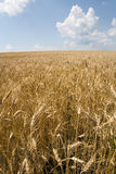 Wheat and sky. View of a wheat with cloudy sky in background Stock Photography