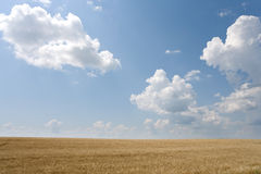 Wheat and sky. View of a wheat with cloudy sky in background Royalty Free Stock Photography