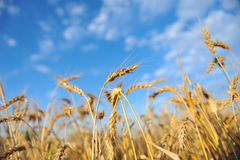 Wheat and sky Stock Images