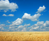 Wheat and Sky Royalty Free Stock Photo