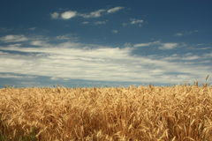 Wheat and Sky. Golden wheat field against blue clouded sky on hot summer day in the midwest stock image