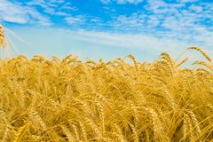 Wheat and sky stock photo