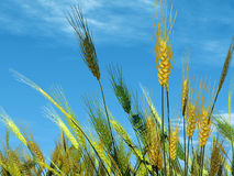 Wheat on sky background Stock Images