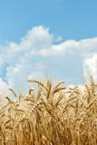 Wheat with sky and clouds Stock Photo