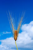 Wheat and sky Royalty Free Stock Images