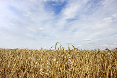 Wheat and sky. View of a wheat with cloudy sky in background Royalty Free Stock Photos