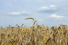 Wheat and sky. View of a wheat with cloudy sky in background Royalty Free Stock Image