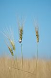 Wheat and snail. A snail on the grain an a blue sky Royalty Free Stock Photography