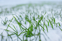 Wheat in the snow Royalty Free Stock Photo