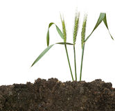 Wheat in soil Stock Photography
