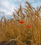 Ripe wheat. Harvest of bread. Ears. royalty free stock images