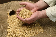 Wheat sowing seed Royalty Free Stock Images