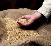 Wheat sowing seed Stock Photo