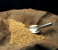 Wheat sowing seed stock image