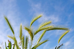 Wheat spica Royalty Free Stock Images