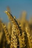 A wheat-spike. The spike of a wheatplant Royalty Free Stock Image