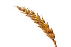 Wheat spike. Mature single wheat spike on white background Royalty Free Stock Images