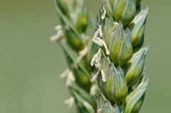 Wheat spike. A wheat spike during flowering with exposed anthers. The anthers release pollen Royalty Free Stock Photos