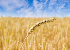 Wheat spike on the background of field and sky closeup Royalty Free Stock Image