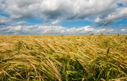 Wheat spike. On the background of the field and sky Royalty Free Stock Images