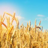 Wheat spike and blue sky close-up. a golden field. beautiful view. symbol of harvest and fertility. Harvesting, bread.  stock photography