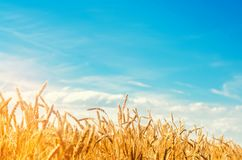 Wheat spike and blue sky close-up. a golden field. beautiful view. symbol of harvest and fertility. Harvesting, bread. Wheat spike and blue sky close-up. a royalty free stock images