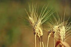 Wheat spike closeup. Autumn landscape. Wheat spike closeup. Sunny day. Ripe wheat. blurred background Royalty Free Stock Photo