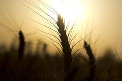 Wheat spike Stock Image