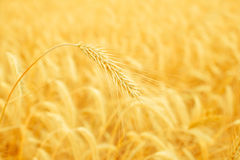 Wheat spike on a gold blurred background Royalty Free Stock Image