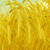 Wheat spike on a gold blurred background, vintage style Royalty Free Stock Image