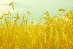 Wheat spike on a gold blurred background, vintage Stock Photography