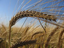 Wheat Spike II stock photography