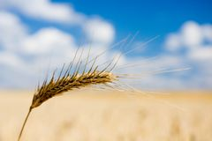 Wheat spike over field Royalty Free Stock Photo