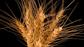 Wheat spike rotating 360 stock video footage