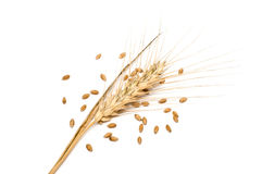 Wheat spike with seeds Stock Image