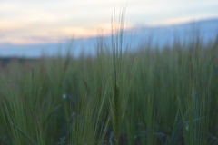 Wheat spike. On sunset background Stock Photos