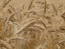 Wheat, Spike, Wheat Field, Cereals Stock Photography