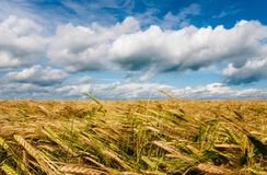 Wheat spike on the. Background of the field and sky Royalty Free Stock Photography