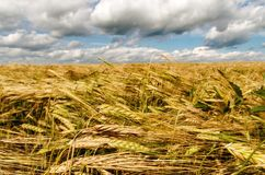 Wheat spike. On the background of the field and sky Stock Photography