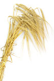 Wheat spike Stock Image