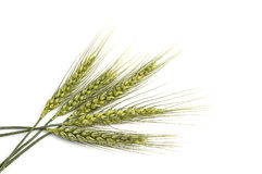 Wheat spike with white background, wheat spike plant, sample wheat spike Royalty Free Stock Photos