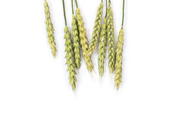 Wheat spikelet Stock Images
